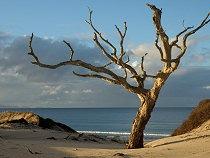 Pakiri Tree